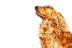 Perro amarillo que mira para arriba Aislado en el fondo blanco Símbolo del año 2018 Fotografía de archivo