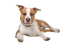 Perro americano del stafford Imagenes de archivo