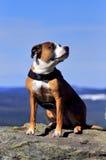 Perro americano del stafford Foto de archivo libre de regalías