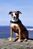 Perro americano del stafford Imagen de archivo libre de regalías