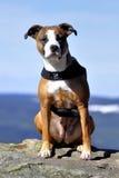 Perro americano del stafford Foto de archivo