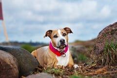 Perro americano del terrier de pitbull que presenta al aire libre fotos de archivo