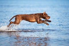 Perro americano del terrier de pitbull que salta en agua imágenes de archivo libres de regalías