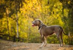 Perro americano del terrier del pitbull imagen de archivo