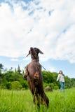Perro, amigo, compañero, caza, perro basset, mujer, largo, criada en línea pura, animal doméstico imagen de archivo