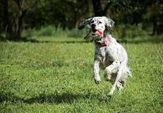 Perro, animal doméstico, funcionamiento, active, energía, feliz Fotografía de archivo libre de regalías