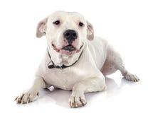 Perro argentino foto de archivo libre de regalías