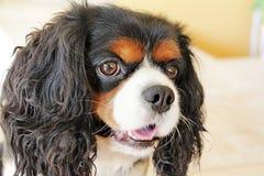 Perro arrogante del perro de aguas de rey Charles fotos de archivo libres de regalías