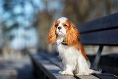 Perro arrogante del perro de aguas de rey Charles en un banco fotografía de archivo