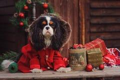 Perro arrogante lindo del perro de aguas de rey Charles en capa roja que celebra la Navidad en la casa de campo acogedora imagen de archivo libre de regalías