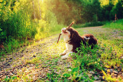 Perro arrogante tricolor del perro de aguas de rey Charles que disfruta de verano y que juega con el palillo en paseo del país Foto de archivo