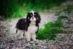 Perro arrogante tricolor del perro de aguas de rey Charles que se relaja en jardín del verano Fotografía de archivo