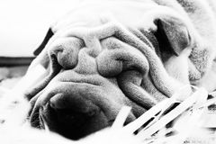 Perro arrugado Fotografía de archivo