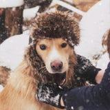 Perro asombroso del retriver del golder que corre rápidamente en bosque en día de invierno soleado de la mañana Foto de archivo libre de regalías