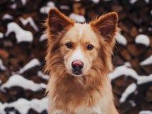 Perro asombroso del retriver del golder que corre rápidamente en bosque en día de invierno soleado de la mañana Imagen de archivo