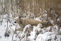 Perro astuto rojo que caza en las cañas en el lago congelado foto de archivo