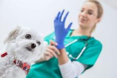 Perro asustado antes del examen traumático Imagen de archivo libre de regalías