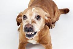 Perro asustado que miente en el piso con la expresión viciosa Foto de archivo libre de regalías