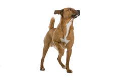 Perro austríaco del Pinscher imagen de archivo libre de regalías