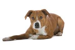 Perro austríaco del Pinscher imagen de archivo