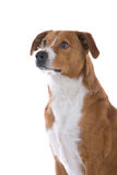 Perro austríaco del Pinscher fotografía de archivo