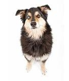 Perro australiano de la mezcla del pastor fotos de archivo