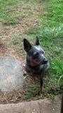 Perro australiano del ganado Fotos de archivo