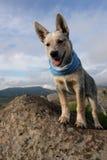 Perro australiano del ganado con la bufanda Fotografía de archivo