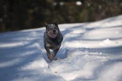 Perro australiano del ganado del perro criado en línea pura en la nieve Foto de archivo libre de regalías