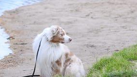 Perro australiano en la playa almacen de metraje de vídeo