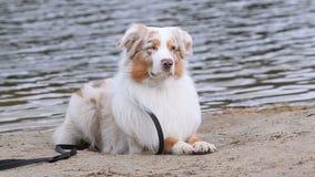 Perro australiano en una playa almacen de metraje de vídeo