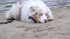 Perro australiano encendido en la reclinación de la playa metrajes