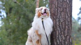 Perro australiano que muestra trucos almacen de video