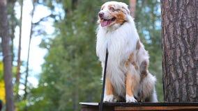 Perro australiano, sentándose en un registro almacen de video