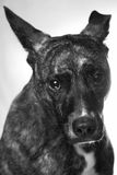 Perro avergonzado Fotos de archivo libres de regalías