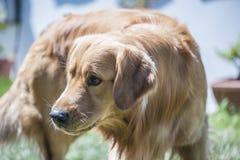 Perro avergonzado Imagen de archivo