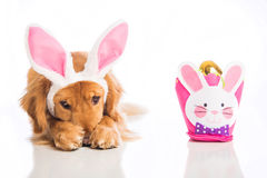 Perro avergonzado de Pascua Imágenes de archivo libres de regalías