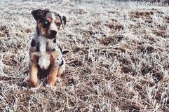 Perro azul Imagen de archivo libre de regalías