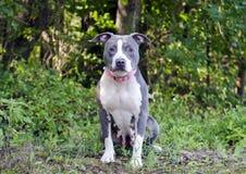 Perro azul de Pitbull Terrier del americano imagenes de archivo