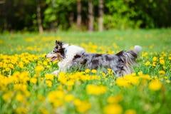 Perro azul del sheltie del merle Imágenes de archivo libres de regalías