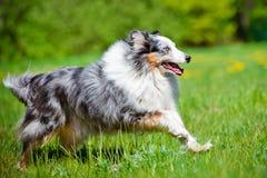 Perro azul del sheltie del merle Fotos de archivo libres de regalías