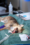 Perro bajo anestesia Foto de archivo