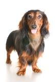 Perro basset Imagen de archivo libre de regalías