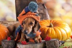 Perro basset Foto de archivo libre de regalías