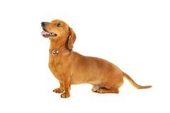 Perro basset Imagen de archivo