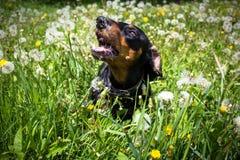 Perro basset Fotos de archivo