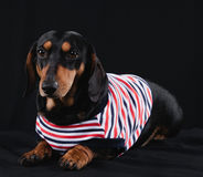 Perro basset Fotografía de archivo libre de regalías
