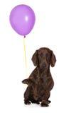 Perro basset adorable que sostiene un globo Imagen de archivo