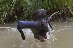 perro basset Alambre-cabelludo en la charca Foto de archivo libre de regalías