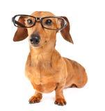 Perro basset con los vidrios foto de archivo libre de regalías